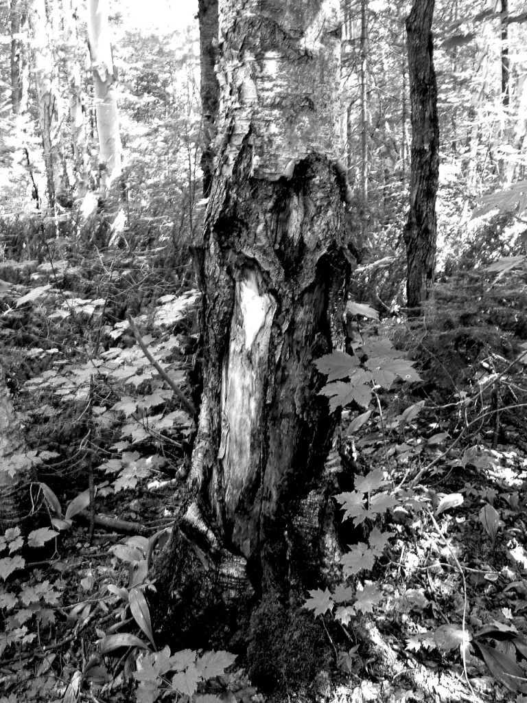 Mature scared tree in the forest