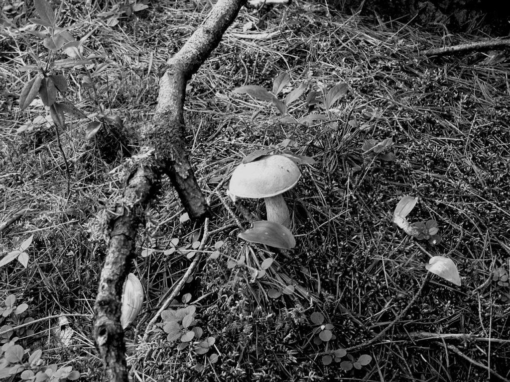 Mushroom on ground, black and white