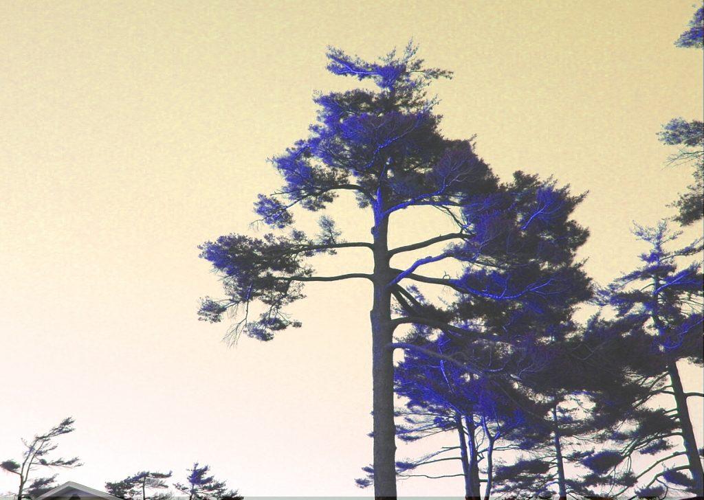 Pine trees at sunset
